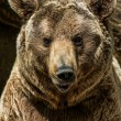 Brown bear close-up shot - Stock Photo
