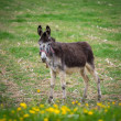 Donkey on a meadow - Stock Photo
