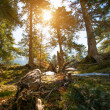 Pine forest on sunny day — Stock Photo
