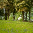 Stork walking on a meadow — Stock Photo #25852817