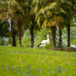 Stork walking on a meadow — Stock Photo