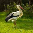 Stork walking on a meadow - Stock Photo