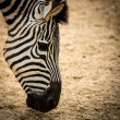Close-up of a zebra — Stock Photo #25852951