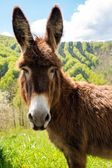 Friendly brown donkey outdoors — Stock Photo