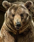 Brown bear close-up shot — Stock Photo