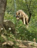 愤怒的狼站在一座山 — 图库照片