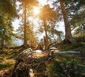 Las sosnowy w słoneczny dzień — Zdjęcie stockowe