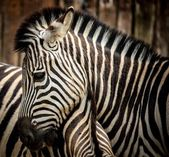 Close-up of a zebra — Stock Photo