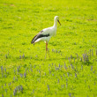 Stork on a meadow — Foto Stock