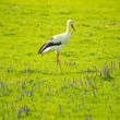 Stork on meadow — Stockfoto #26308673