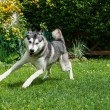 Beautiful husky playing on a green meadow — Stock Photo
