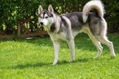 Beautiful husky on a green meadow — Stock Photo