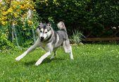 Beautiful husky playing on a green meadow — Stock Photo