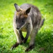 Agile wallaby — 图库照片