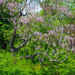 Tree with beautiful purple flowers — Stockfoto