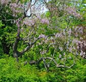 Tree with beautiful purple flowers — Stok fotoğraf