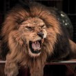 Close-up shot of gorgeous roaring lion in circus arena — Stock Photo #33868179