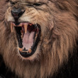 Close-up shot of roaring lion — Stock Photo