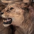 Beautiful roaring lioness close-up  — Stock Photo