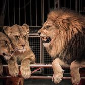 Gorgeous roaring lion and two lioness on circus arena — Stock Photo
