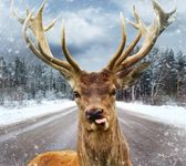 Deer with beautiful big horns on a winter country road — Stock Photo