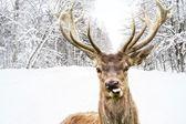 冬天的乡村道路上美丽的大角鹿 — 图库照片