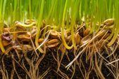 Půdy s semena a kořeny čerstvé zelené trávy — Stock fotografie