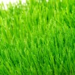 Stock Photo: Dew on fresh green grass