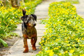 Dog standing in the path of flowers — Stock Photo