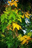 Retrato de árbol con verde y amarillo hojas — Foto de Stock