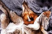 Portrait of beautiful fox skin — Stock Photo