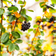 Stock Photo: Autumn picture of a chokeberry bush