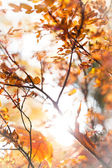 Sunny snapshot of rowan autumn branches — Stock Photo