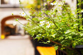 Camomile bush on the street — Stock Photo