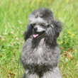 Toy poodle on green grass — Stock Photo