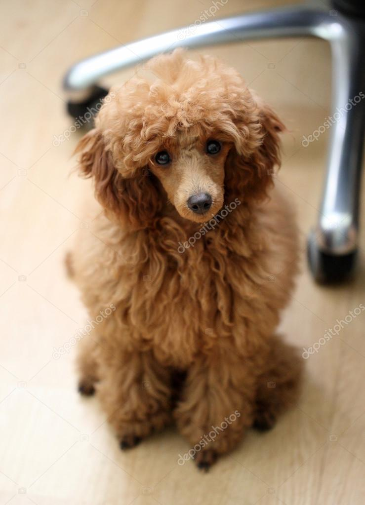 Toy poodle sits on a floor  Stock Photo #13075757