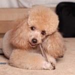 ������, ������: Poodle eat a dry bone