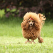 Toy poodle on green grass — Stock Photo #26342375