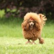 Poodle puppy posing over the meadow — Stock Photo