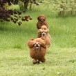 Happy poodle running around each other — Stock Photo