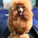 Toy Poodle portrait — Stock Photo #26342483