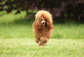 Toy Poodle puppy runs over the meadow — Stock Photo