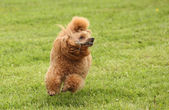 Caniche toy corre sobre el prado — Foto de Stock