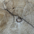 Tree trunk cut — Stock Photo