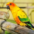 Tropical yellow parrot with green wings, - Stock Photo