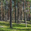 Beautiful view of the pine forest in sunny summer day. — Zdjęcie stockowe
