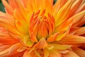 Dahlia with orange-yellow petals. Close up. — Stock Photo