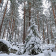 Winter forest landscape. - Stock Photo