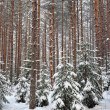 Winter forest landscape — Stock Photo #19477381