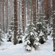 Winter forest landscape — Stock Photo